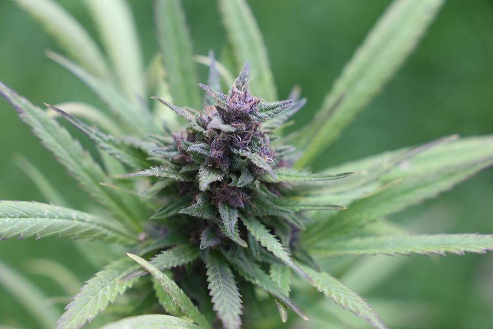 Cannabis, Bud, Grass, Weed, Marijuana, Hemp, Drug, Thc