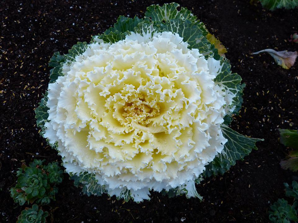 Cabbage Flower Vegetables Free Photo On Pixabay