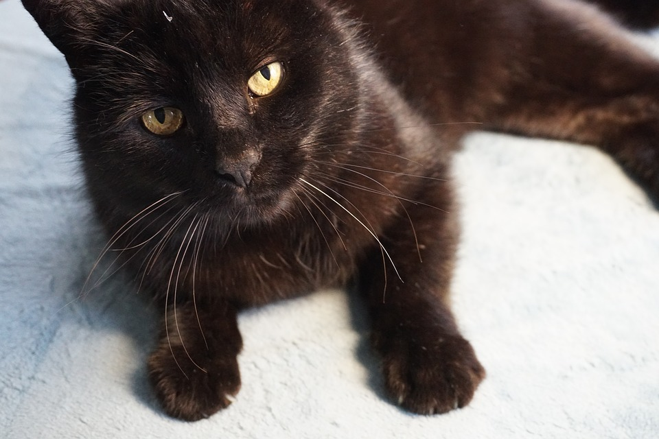 Blackyoung mačička