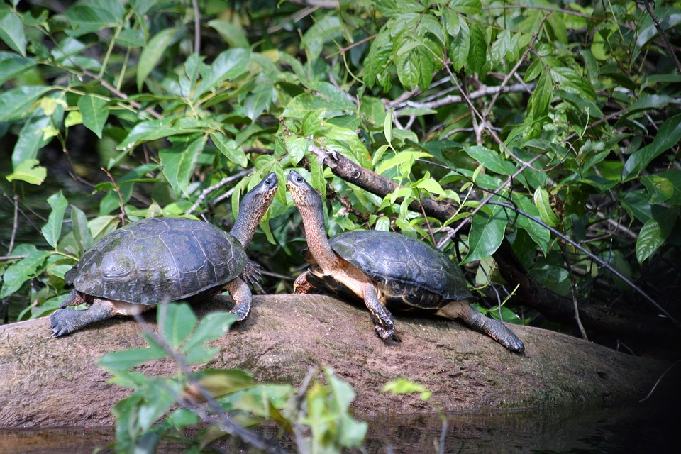 Animaux, Costa-Rica, Tortuguero, Tortues, Jungle