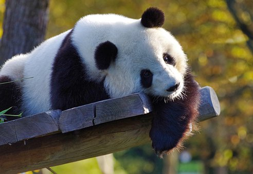 Panda, Giant Panda, Bamboo, China