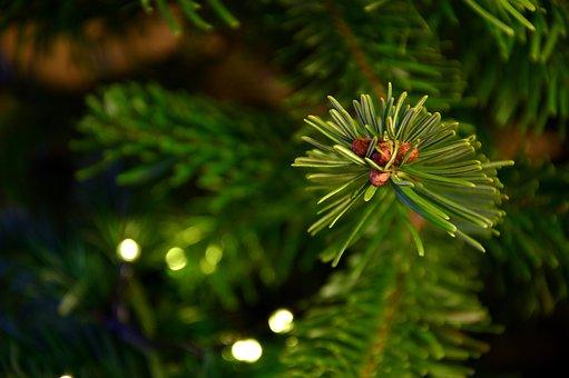 Weihnachtsbilder Tannenzweig.300 Free Tannenzweig Fir Tree Photos Pixabay