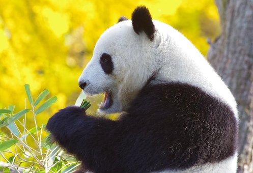 Panda Bear, China, Endangered, Bamboo