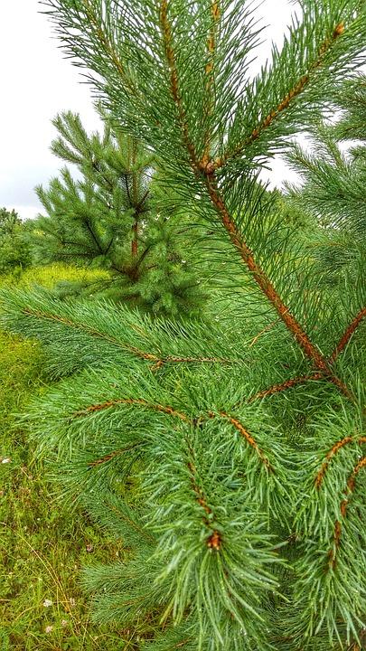 Pin, Nature, Plante, Forêts, Arbres, Paysage