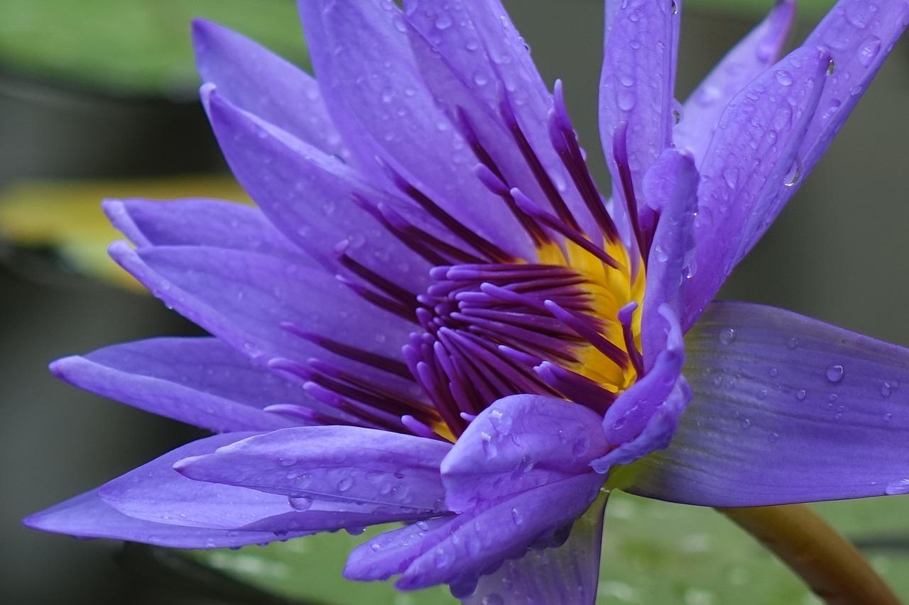 лотос фото лиловый сети