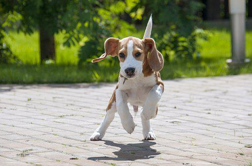 Beagle, Dog, Puppy, Pet, Animal, Young