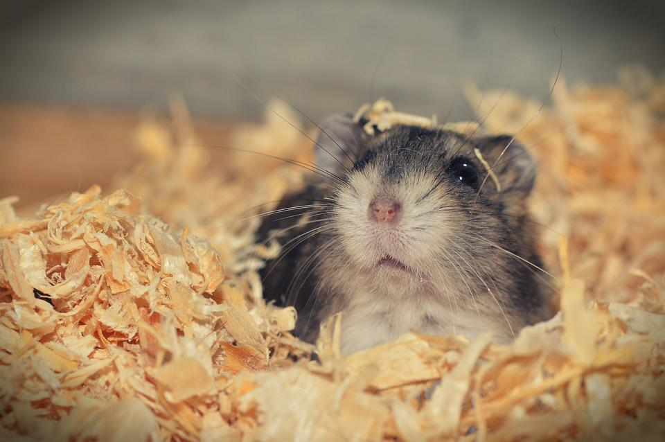 Hamster, Dier, Knaagdier, Schattig