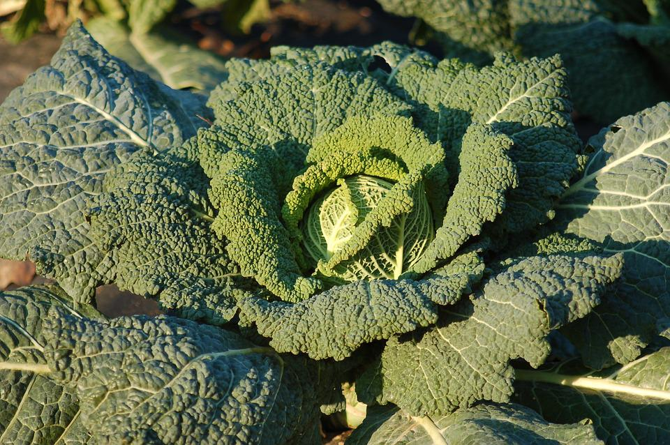 Cabbage, Garden, Winter, Horticulture, Agriculture