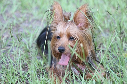 Yorkie, Yorkshire Terrier, Dog, Cute