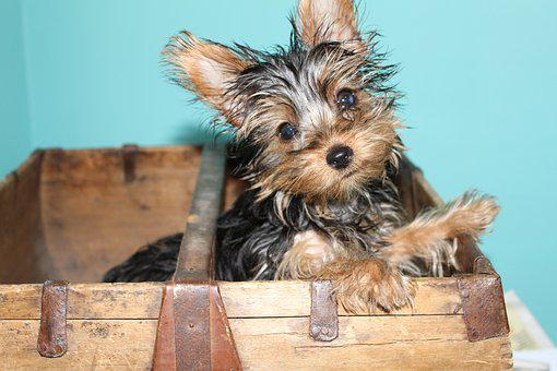 Yorkie, Yorkshire, Terrier, Puppy, Cute