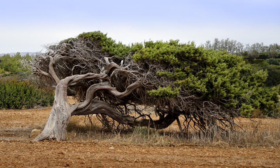 Árvore, Vento, Conífera, Encaminhar, Crescimento