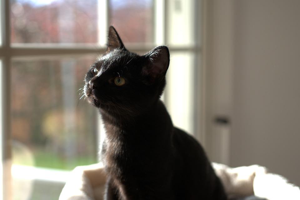 Černá africká kočička vids