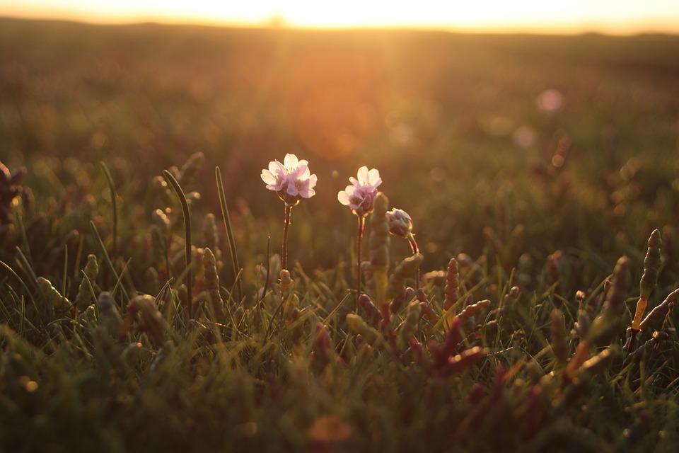 8c1ad03d5b5f Samphire Príroda Kvetina - Fotografia zdarma na Pixabay