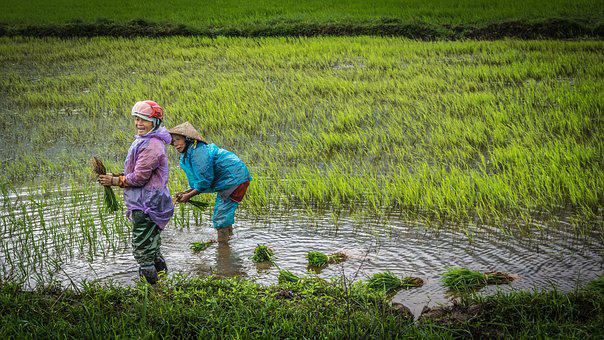 Vietnam, Women, Paddy, Agriculture