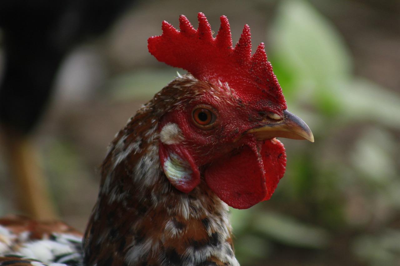 Фото красной курицы