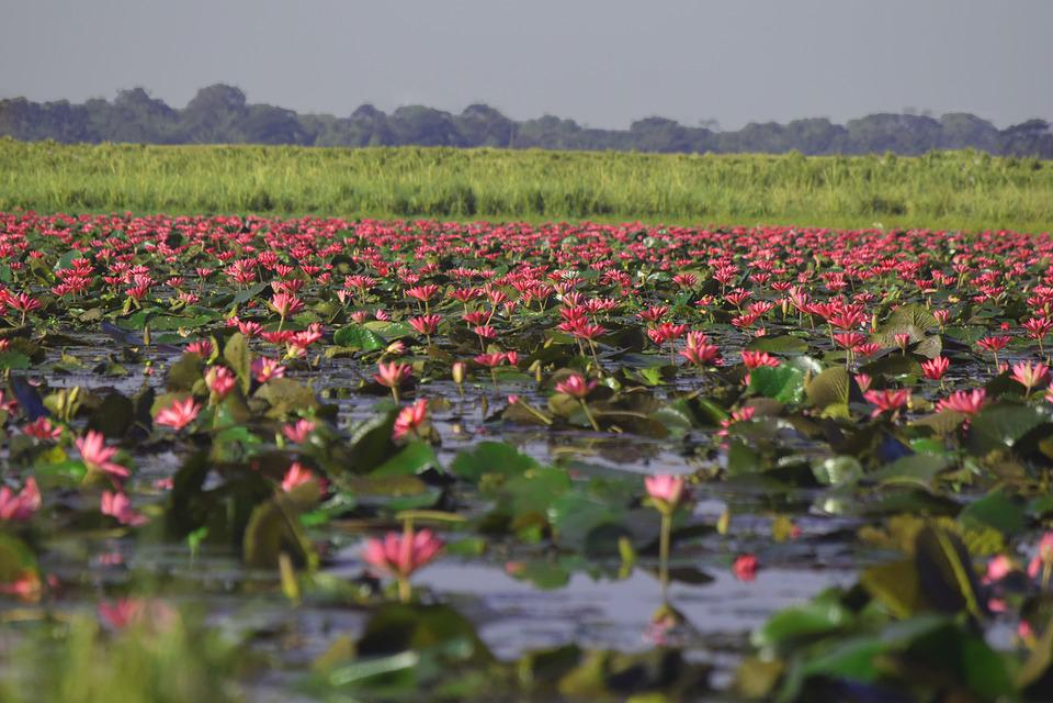 Lotus Flower Pond Free Photo On Pixabay