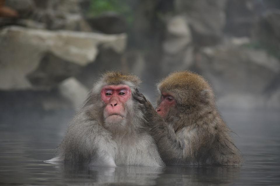 アニマル, 猿, 日本猿, スノーモンキー, 温泉, 露天風呂, 入浴, 温浴効果, 美容, 湯治, ボス猿