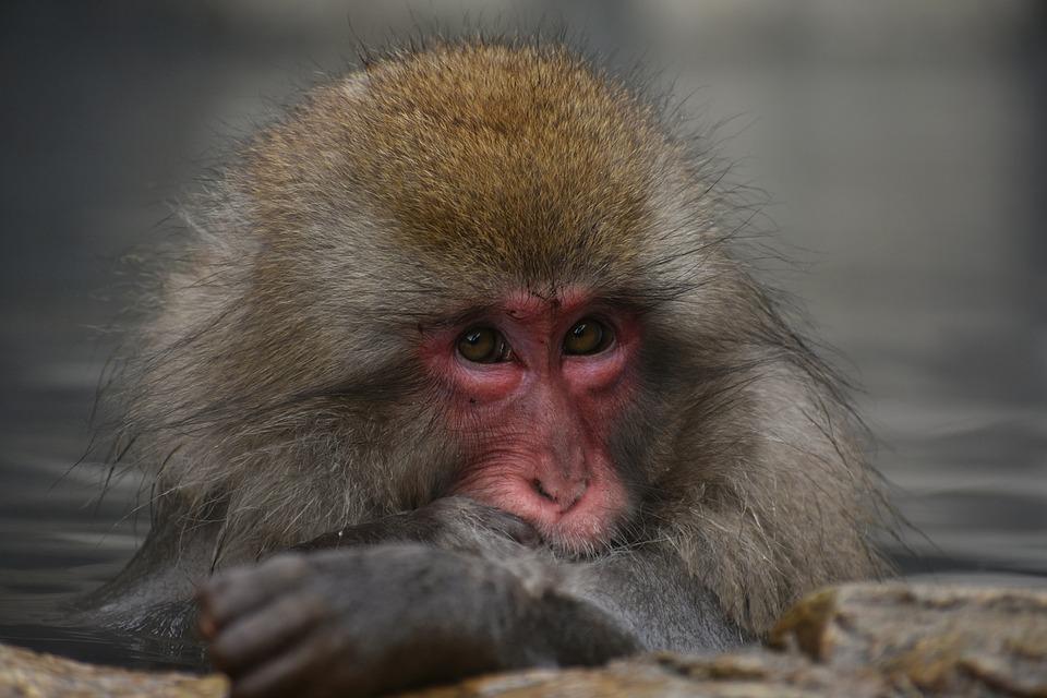Dier, Aap, Baby Japanse Makaak Het Eten Van Bladeren