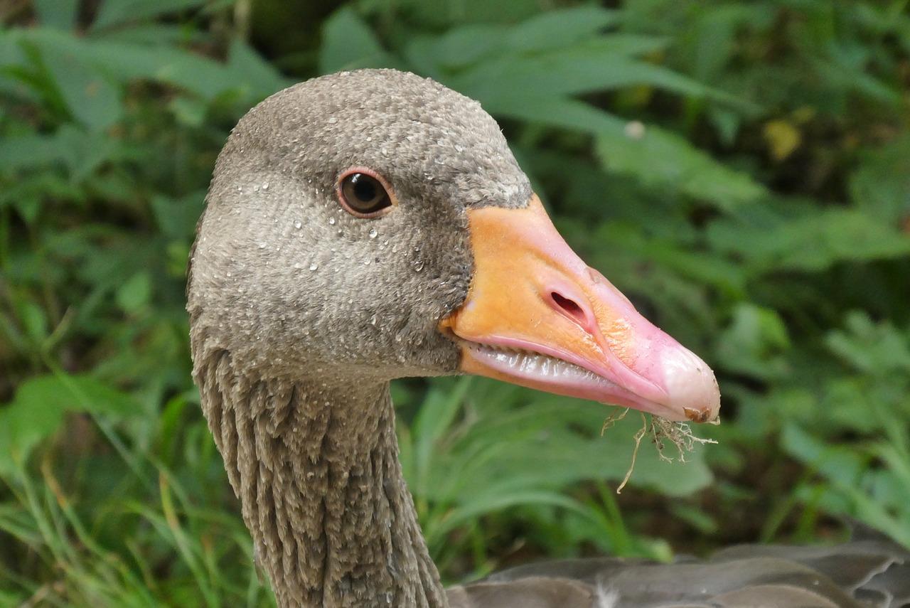 фото саблезубая утка нас