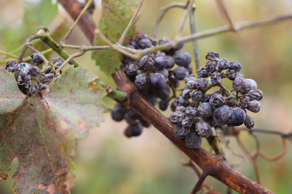 葡萄, ヴィンテージ, アイスワイン, ブドウ, ブドウ栽培, ブドウ園