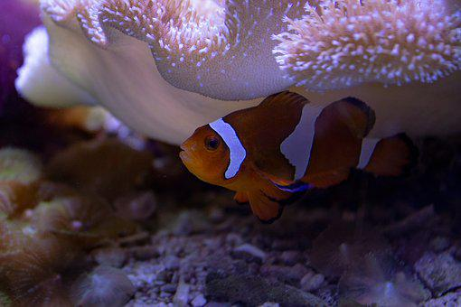 clown fish images pixabay download free pictures