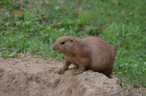 Prairie Dog Images Pixabay Download Free Pictures