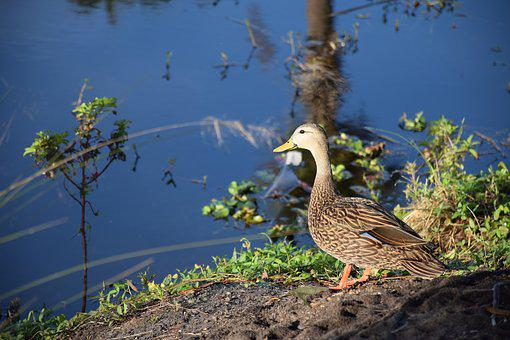 Duck, Mallard, Male, Bird, Lake