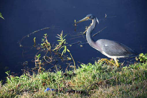 Bird, Heron, Blue Heron, Hunting, Lake