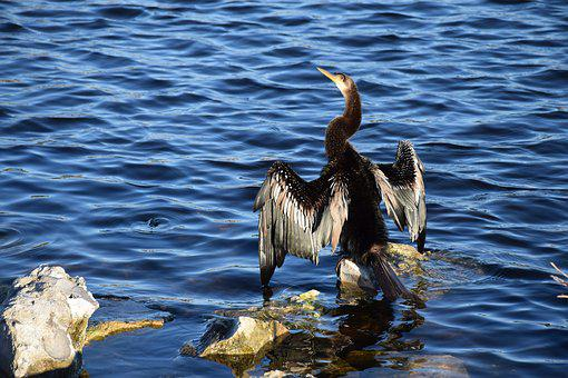 Anhinga, Wings, Drying, Bird, Rock, Lake