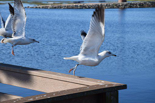 Seagull, Bird, Flying, Takeoff, Railing
