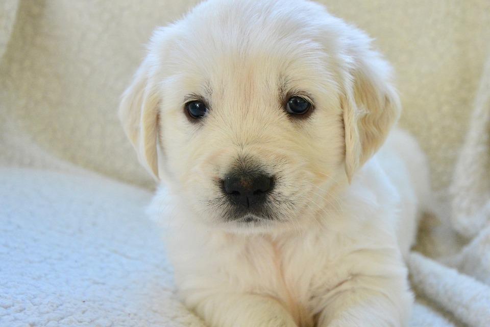 Dog Golden Retriever Puppy Pup Free Photo On Pixabay