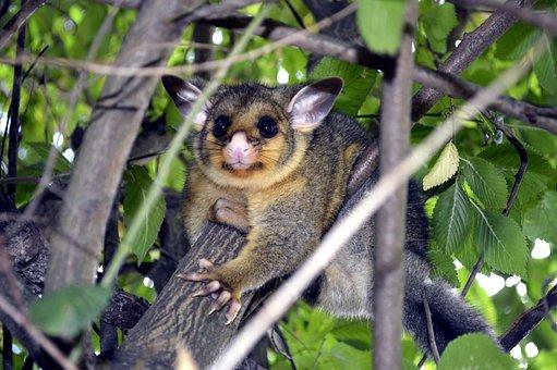 Baby possums