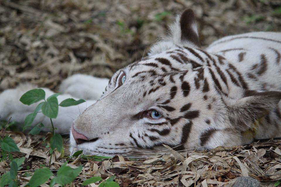 540 Gambar Hewan Harimau Lucu Gratis