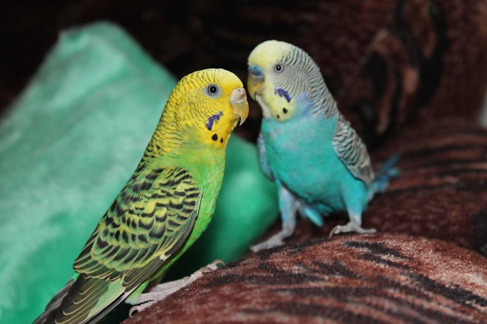 93 Gambar Binatang Peliharaan Burung Gratis Terbaru