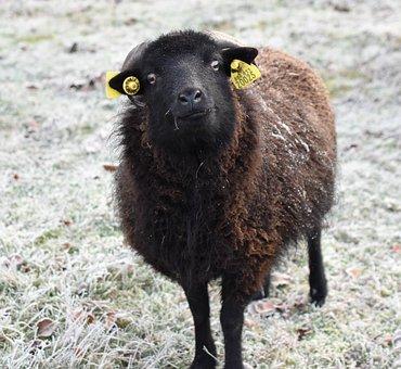 Owiec, Czarny, Wełna, Ssaki, Żel, Zimowe