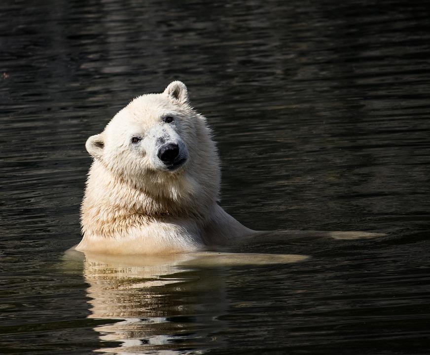 Lední medvěd, zdroj:www.pixabay.com