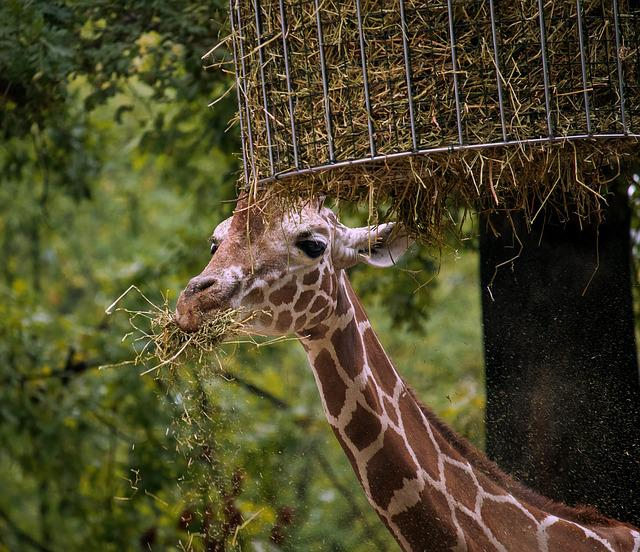 Giraffe Mammal u003cbu003eAnimalu003c/bu003e - Free photo on Pixabay