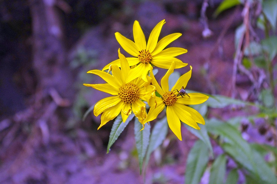 Fiori Gialli Bosco.Boschi Di Girasole Fiori Bosco Foto Gratis Su Pixabay