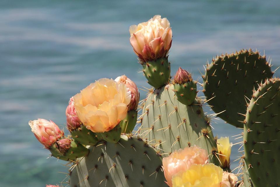 Plant, Cactus, Nature, Croatia, Krk, Garden, Sea