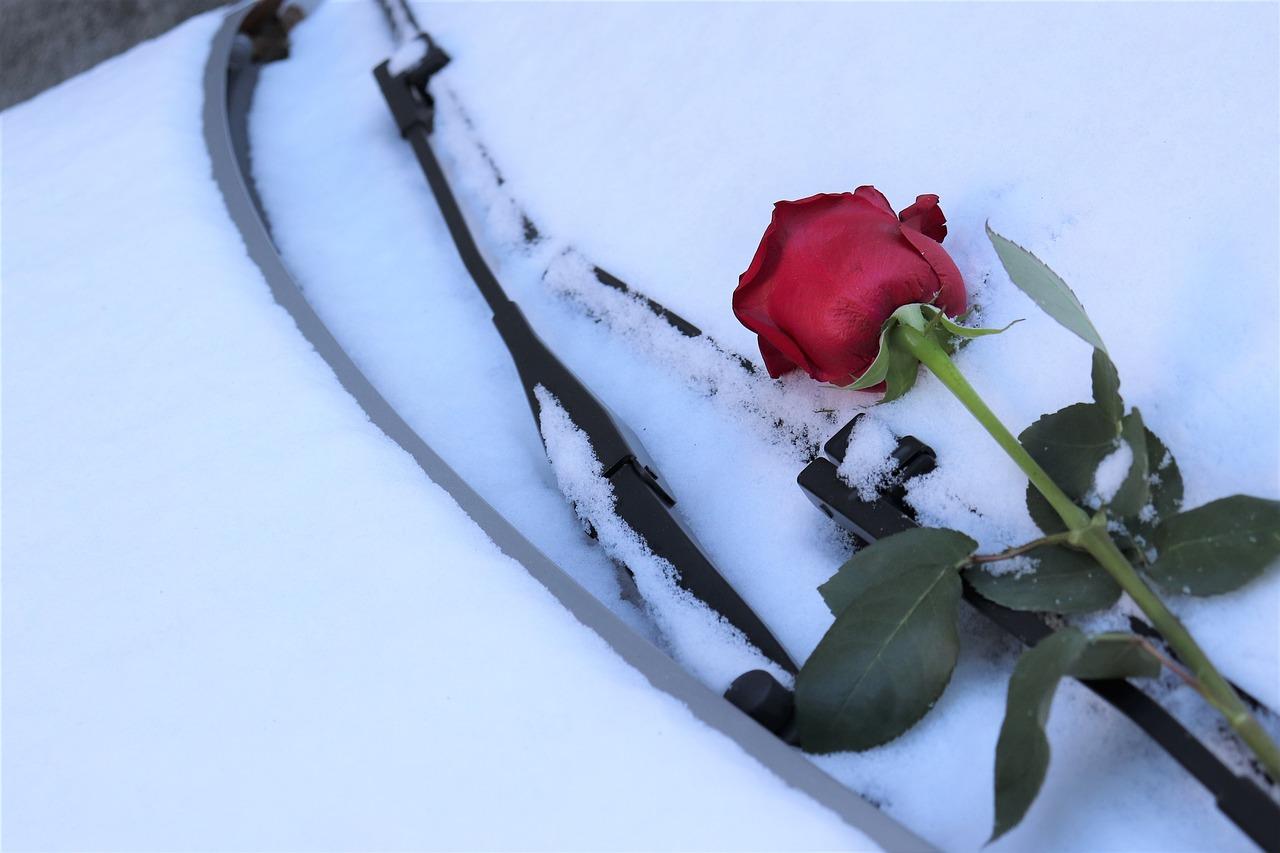 Фото сирийской сиреневые розы цветущей это