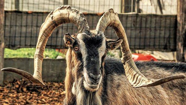 Goat, Mountain Goat, Horns, Alpine