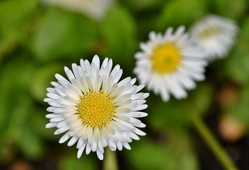 Daisy Images Pixabay Download Free Pictures