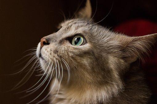 Moustaches, Animal De Compagnie, Cat