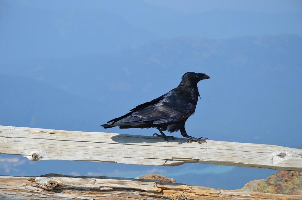 Videá z veľkého čierneho vtáka