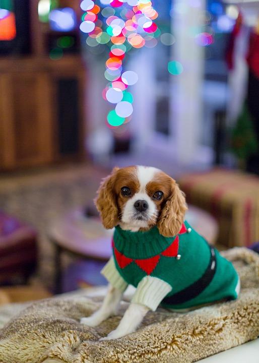 Cavalier King Charles Spaniel, Spaniel, Perro, Navidad