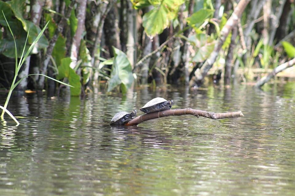 Tortues, Amazon, Rivière, Équateur, Paysage, Nature