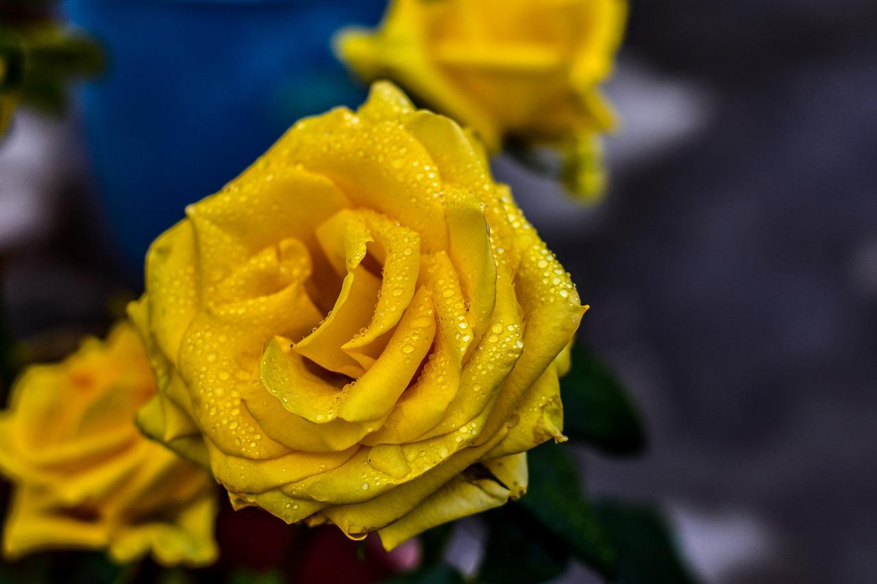 красивая казашка картинки растоптать желтую розу которые