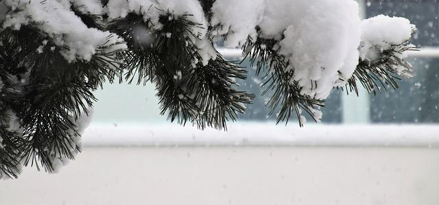 Winter, Pine, Frost, White, Snow, The Background
