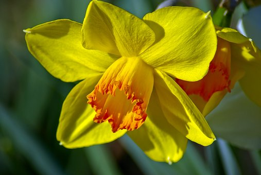 Daffodils Images Pixabay Download Free Pictures