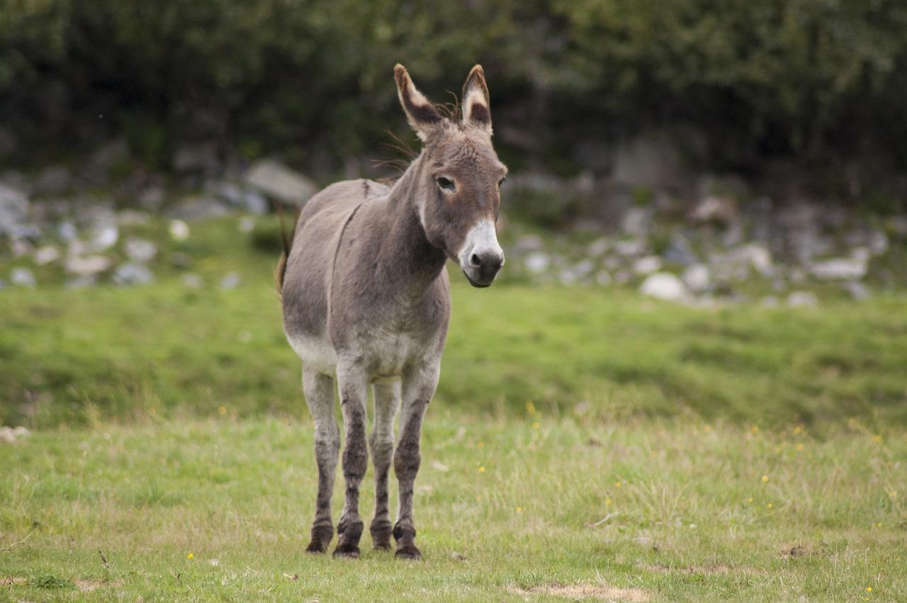 певец ослик животное фото наступает